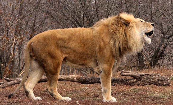 morgue-lion